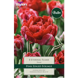 Small Image of Eternal Flame - New & Spectacular Tulip Bulbs