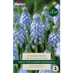 Small Image of Valerie Finnis - Muscari Bulb