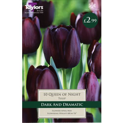 Small Image of Queen of the Night - Cottage Garden Tulip Bulb