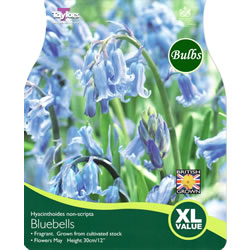 Small Image of Bluebells Hyacinthoides Non-Scripta - XL Value Range
