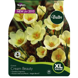 Small Image of Crocus Cream Beauty Bulbs - Xtra Large Value Crocus Range