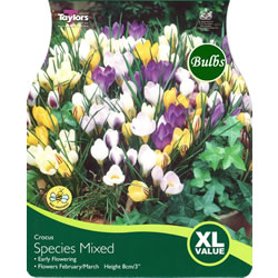 Small Image of Crocus Species Mixed Bulbs - Blooming Value Crocus Range