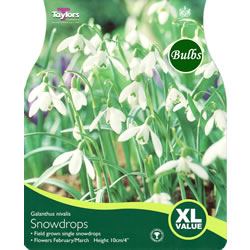 Small Image of Snowdrops Galanthus Nivalis - XL Value Range