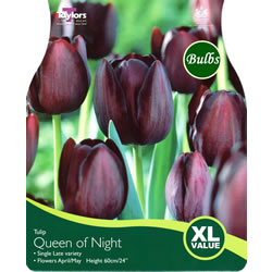 Small Image of Tulip Queen Of The Night Bulbs - XL Value Range