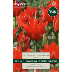 Small Image of Double Red Riding Hood - Greigii Tulip Bulbs
