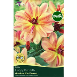 Small Image of Happy Butterfly Dahlia Tuber
