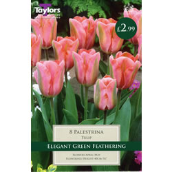 Small Image of Palestrina - Cottage Garden Tulip Bulb