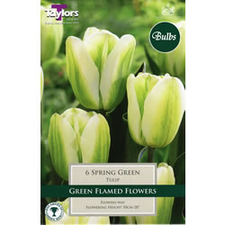 Small Image of Spring Green Tulip Bulbs