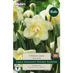 Small Image of Daffodil White Lion Bulbs - Species Narcissi