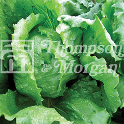 Image of Thompson and Morgan Lettuce : Antartica