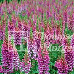 Image of Foxglove Candy Mountain