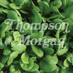 Image of Thompson and Morgan Spinach - Amazon F1 Hybrid