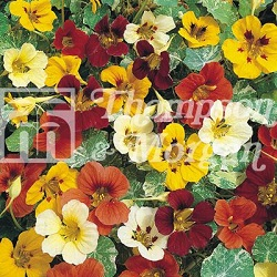 Image of Seeds for Kids - Nasturtium Jewel of Africa