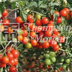 Image of Thompson and Morgan Tomato - Sweet Baby