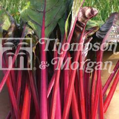 Image of Thompson and Morgan Swiss Chard - Fantasy F1 Hybrid