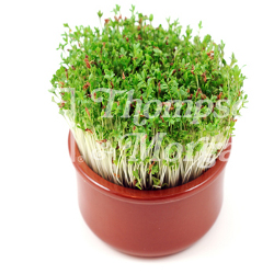 Image of Seeds for Kids - Extra Curled Cress