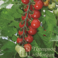 Image of Thompson and Morgan Tomato : Sweet Aperitif