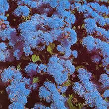 Image of Thompson and Morgan Ageratum houstonianum Blue Mink Seeds