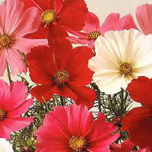 Image of Thompson and Morgan Cosmos bipinnatus Sensation Mixed Seeds