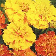 Image of Thompson and Morgan Tagetes patula Bonita Mixed Seeds