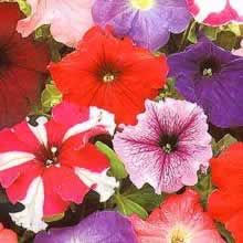 Image of Thompson and Morgan Petunia x hybrida Rainbow F2 Seeds