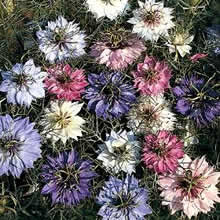 Image of Thompson and Morgan Nigella damascena Persian Jewels Seeds