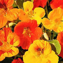 Image of Thompson and Morgan Nasturtium majus Dwarf Compact Mixed Seeds
