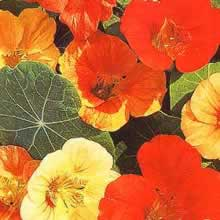 Image of Thompson and Morgan Nasturtium majus Tom Thumb Mixed Seeds