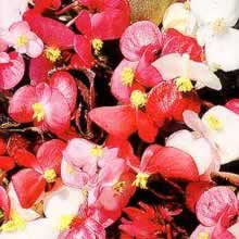 Image of Thompson and Morgan Begonia semperflorens Options Mixed Seeds