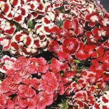 Image of Thompson and Morgan Dianthus barbatus Excelsior Mixed Seeds