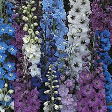 Image of Thompson and Morgan Delphinium hybridum Pacific Giants Mixed Seeds