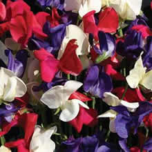 Image of Thompson and Morgan Lathyrus grandiflora Flying the Flag Seeds