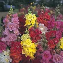 Image of Thompson and Morgan Antirrhinum Majus Double Madame Butterfly Seeds