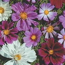 Image of Thompson and Morgan Cosmos All Sorts Mixed Seeds