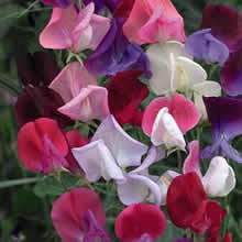 Image of Thompson and Morgan Lathyrus Odoratus Heirloom Bicolour Mixed Seeds