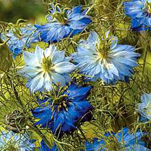 Image of Thompson and Morgan Nigella Moody Blues Seeds