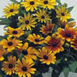 Thompson and Morgan Rudbeckia hirta Becky Mixed Seeds