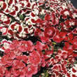 Small Image of Thompson and Morgan Dianthus barbatus Excelsior Mixed Seeds