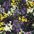 Thompson and Morgan Viola hybrida Bedding Supreme Mixed Seeds