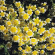 Small Image of Thompson and Morgan Limnanthes douglasii Seeds