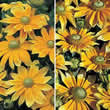 Thompson and Morgan Rudbeckia hirta Prairie Sun Seeds