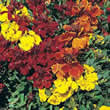Small Image of Thompson and Morgan Cheiranthus Cheiri Brilliant Bedder Series Seeds