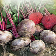 Image of Thompson & Morgan Heritage Collection Egyptian Flat Rooted Beet Seeds