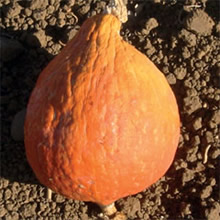 Image of Thompson and Morgan Heritage Collection Winter Golden Hubbard Squash Seeds