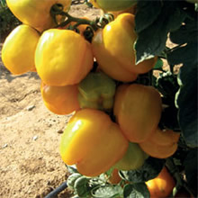 Image of Thompson and Morgan Heritage Collection Yellow Stuffer Tomato Seeds