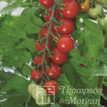 Small Image of Thompson and Morgan Tomato : Sweet Aperitif