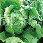 Small Image of Thompson and Morgan Lettuce : Antartica