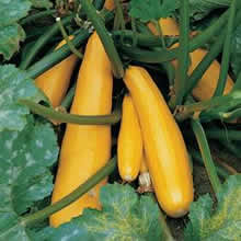 Image of Thompson and Morgan Courgette : Parador F1 Hybrid Seeds