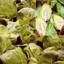 Image of Thompson and Morgan Cabbage : Summer : Hispi F1 Hybrid Seeds