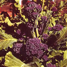 Image of Thompson and Morgan Broccoli : Early Purple Sprouting Seeds